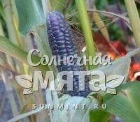 Кукуруза Zea mays japonica