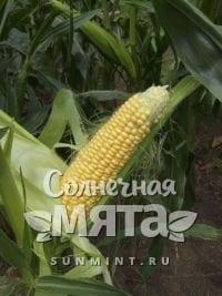 Кукуруза Zea mays saccharata