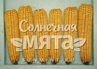 Кукуруза Zea mays semidentata