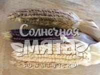 Кукуруза Zea mays tunicata