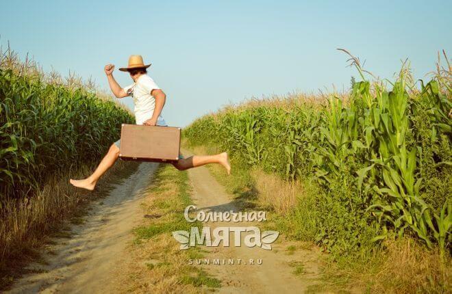 Кукуруза растет на высоких кустах