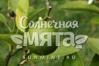 Лайм Citrus Latifolia