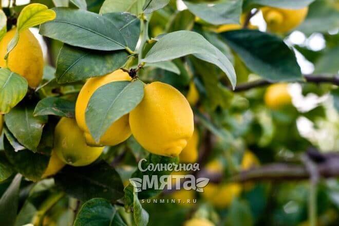 Лимоны растут на деревьях