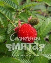 Малина Rubus illecebrosus
