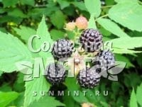 Малина Rubus occidentalis