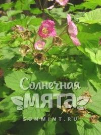 Малина Rubus odoratus