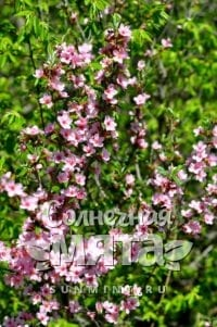 Миндаль Prunus georgica