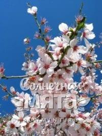 Миндаль Prunus petunnikowii