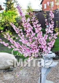 Миндаль Prunus triloba