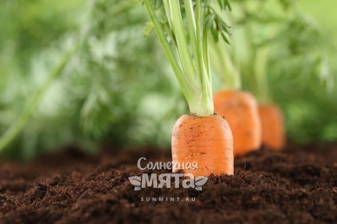 Морковь растет в земле
