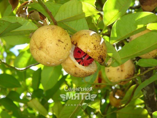 Мускатные орехи растут на деревьях
