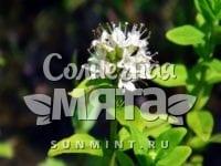 Мята Méntha japonica