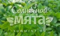 Мята Mentha australis