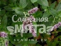 Мята Mentha rotundifolia