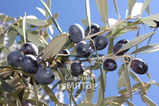 Оливки растут на деревьях