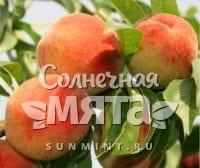 Персик Топ свит Т-5