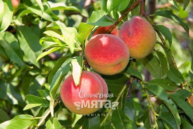 Персики растут на деревьях