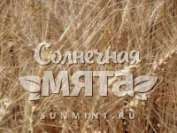 Пшеница Антоновка