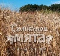 Пшеница Харьковская-46