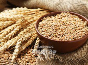 Пшеница кормилица или душегубица
