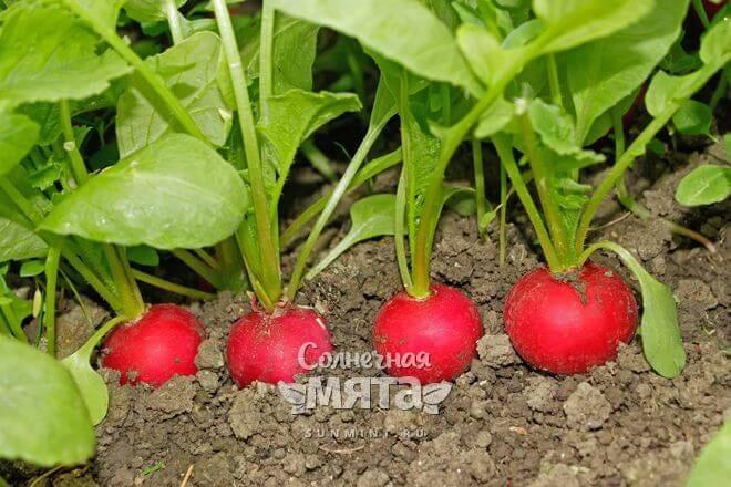 Редис растет в земле