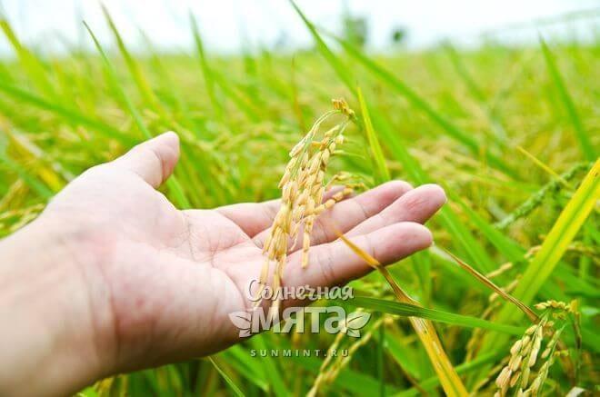 Рис растет в колосьях