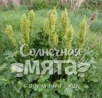 Щавель Rumex confertus