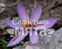 Шафран Crocus cartwrightianus