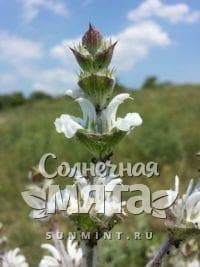 Шалфей Salvia aethiopis
