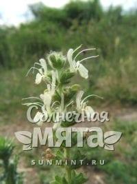 Шалфей Salvia austriaca