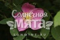 Шиповник Rosa acicularis