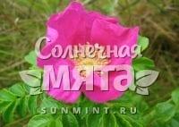 Шиповник Rosa cinnamomea