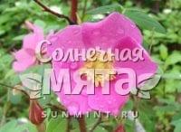 Шиповник Rosa davurica