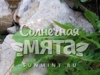Салат Lactuca perennis