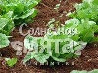 Салат Lactuca sativa