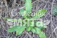 Салат Lactuca serriola