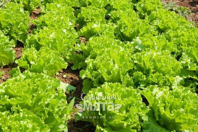 Салат растет розетками