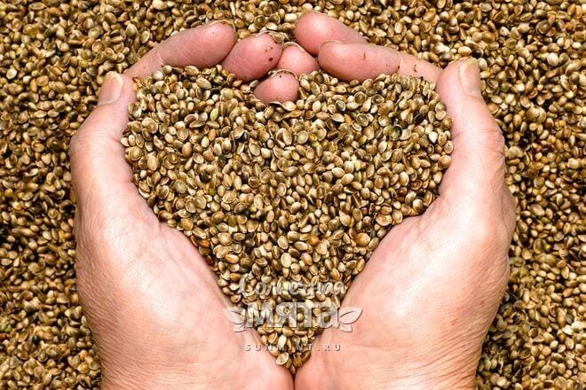 Семена конопли вкусные