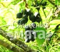 Смородина Ribes dikuscha