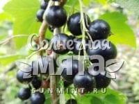 Смородина Ribes nigrum