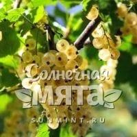 Смородина Ribes niveum