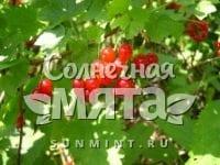 Смородина Ribes rubrum