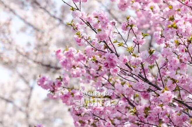 Цветущая вишня никого не оставляет равнодушным