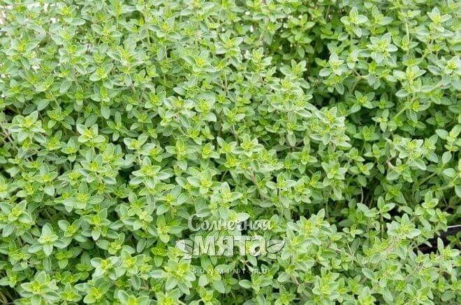 Тимьян растет кустами