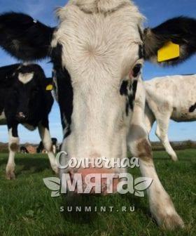 Стадо коров получают витамин B12 не только из зелени, фото