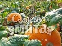 Тыква Cucurbita maxima