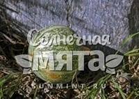 Тыква Cucurbita palmata