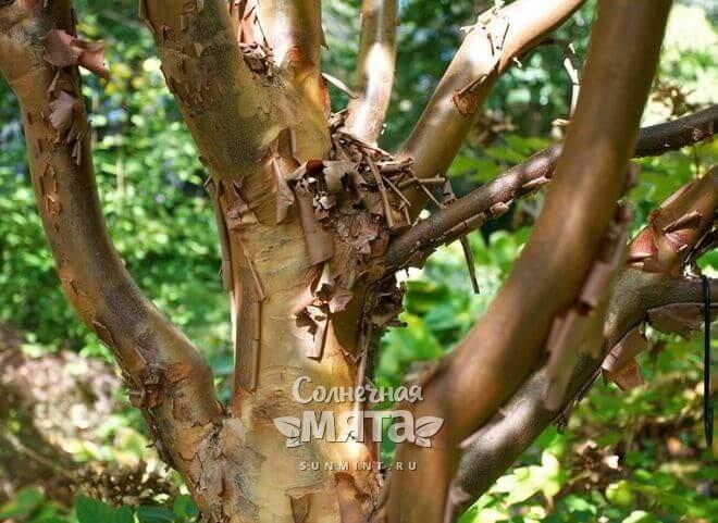 У коричных деревьев ароматная кора