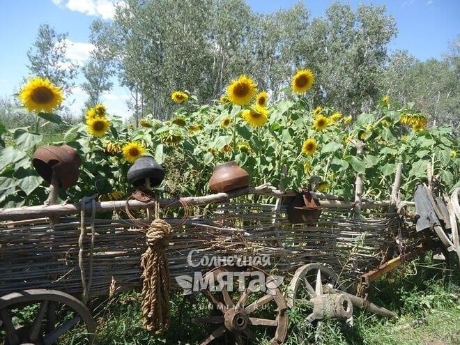 У семечек подсолнечника богатая история