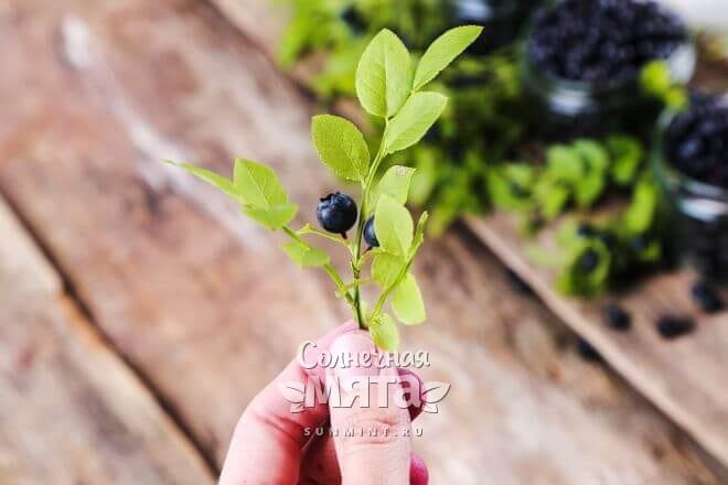 В народной медицине используют не только ягоды, но и листья голубики